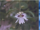 Pic of a Passion Flower in my backyard in India. -800x600
